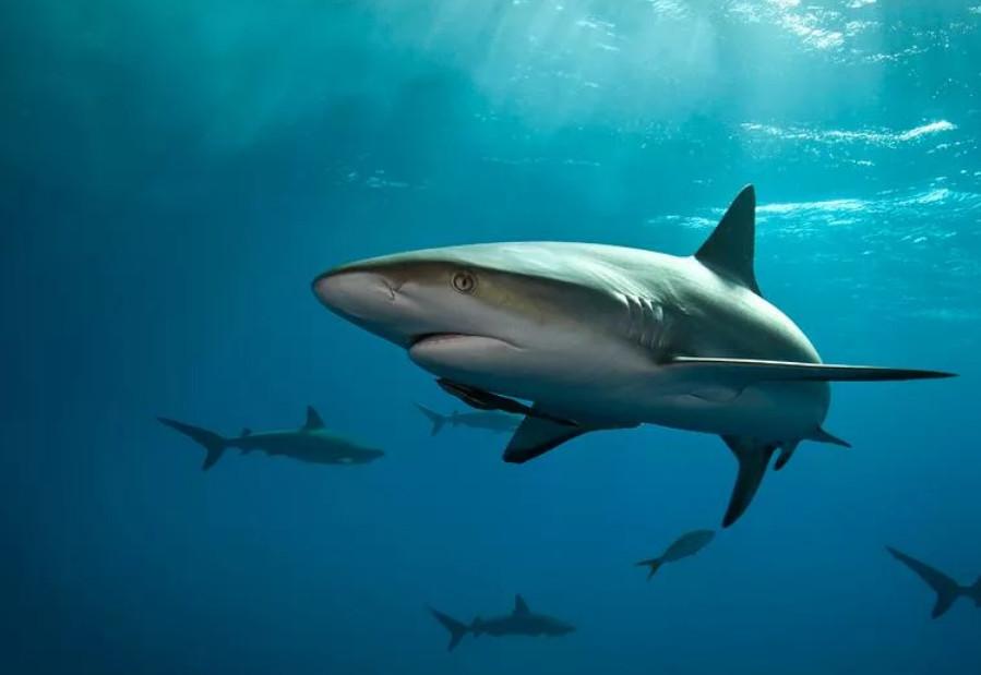 Для того чтобы нормально дышать, акуле приходится постоянно двигаться